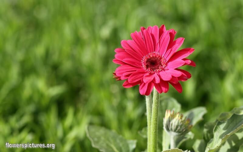 barberton-daisy