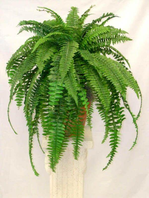 Boston Fern - NASA's List of Best Plants at Cleaning Indoor Air