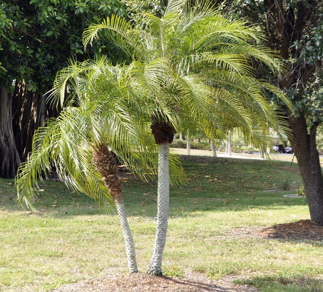Dwarf Date Palm - NASA's List of Best Plants at Cleaning Indoor Air