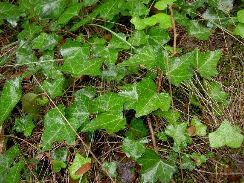 engligh ivy