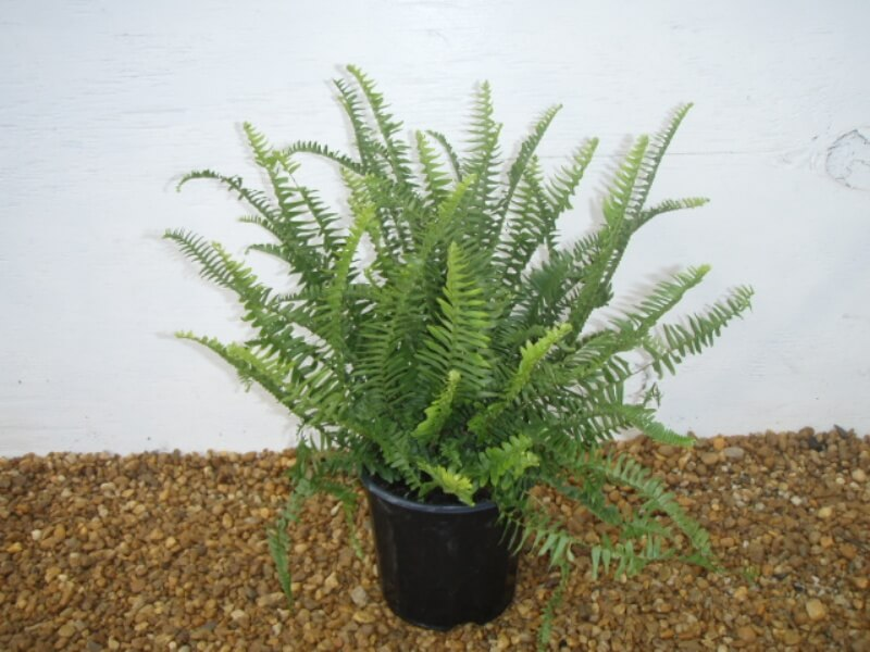 Kimberly Queen Fern - NASA's List of Best Plants at Cleaning Indoor Air