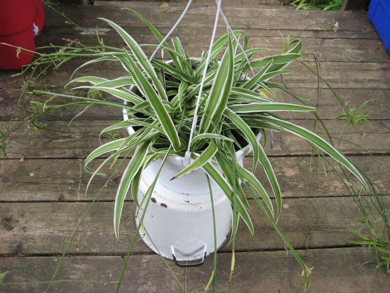 spider plant - NASA's List of Best Plants at Cleaning Indoor Air