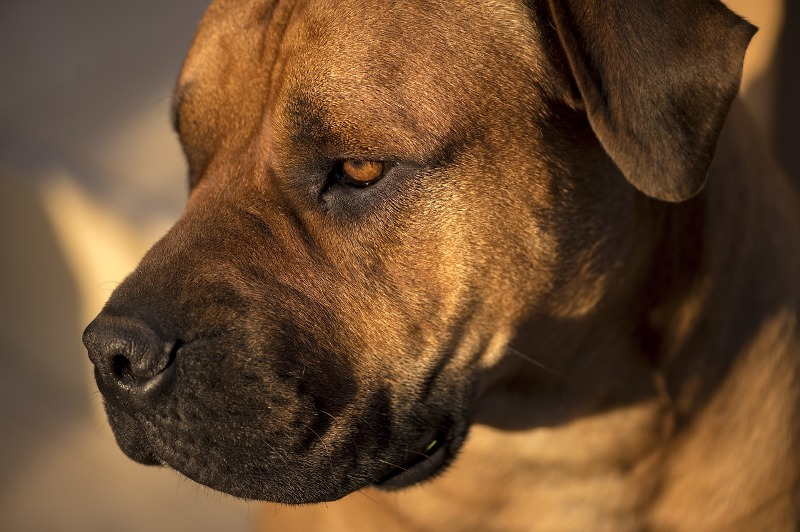 African Mastiff boerboe - Know your dog avatar you would be according to your Zodiac sign
