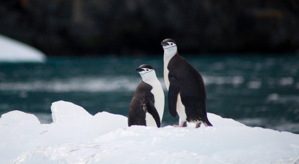 Antarctica penguins smiling