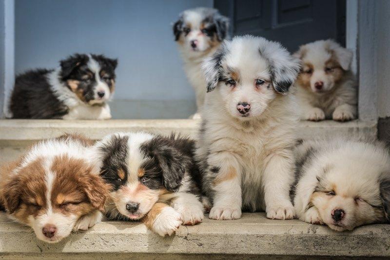 Australian Sheppard puppies
