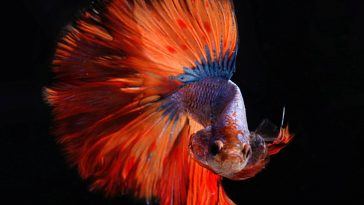 betta fish with long tail
