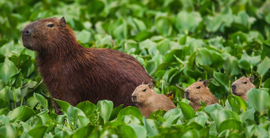 Capivara with three babies - Here Are 5 Exotic Animals That You Can Have As Pets