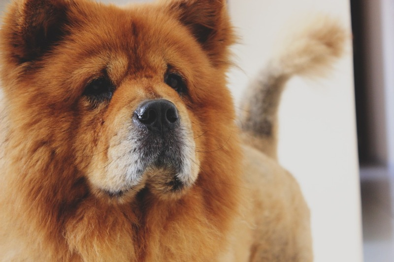 Chow Chow dog - Know your dog avatar you would be according to your Zodiac sign