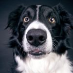 Collie dog closeup