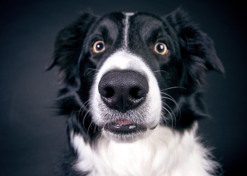 Collie dog - Know your dog avatar you would be according to your Zodiac sign