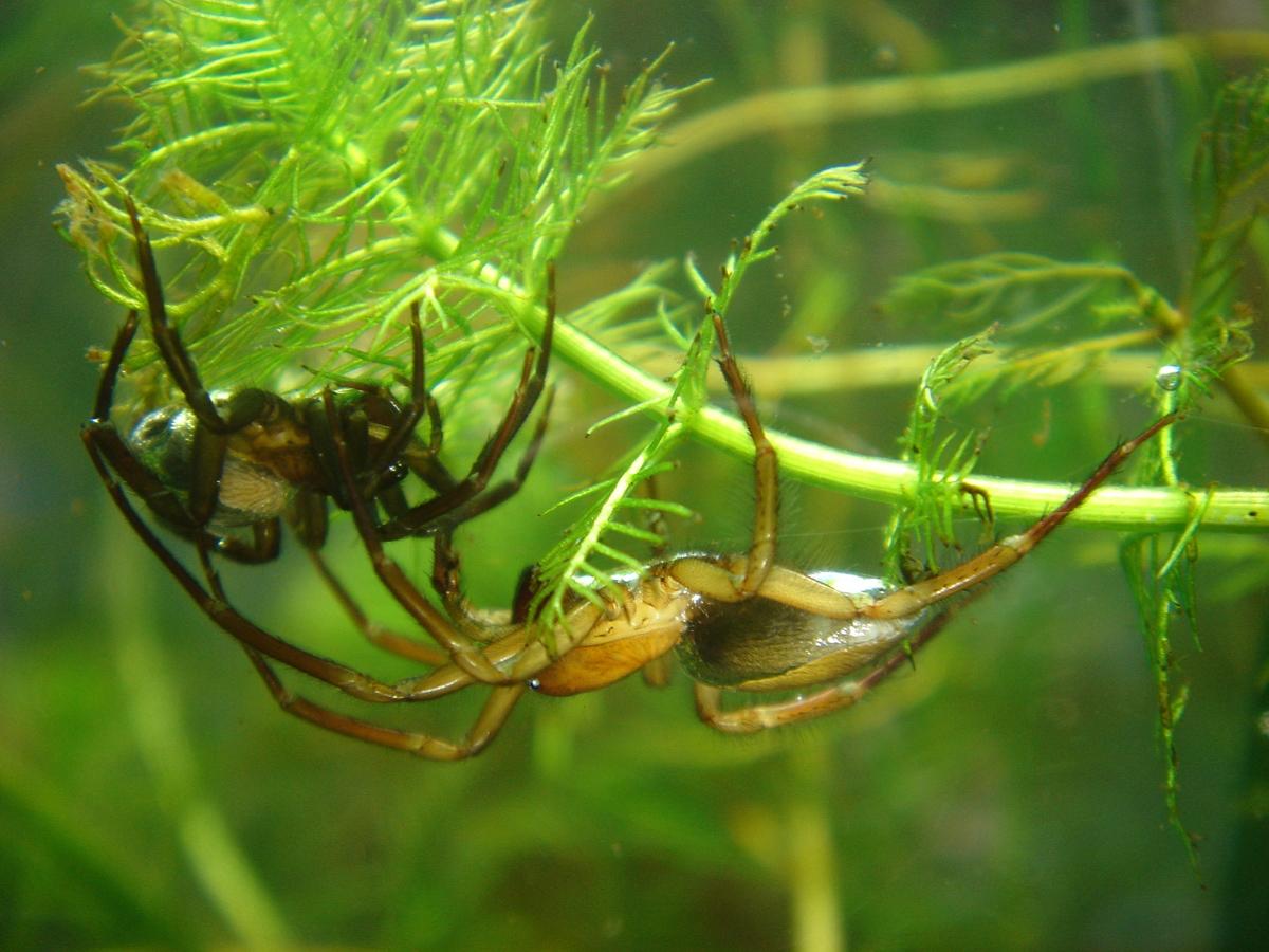 underwater spiders
