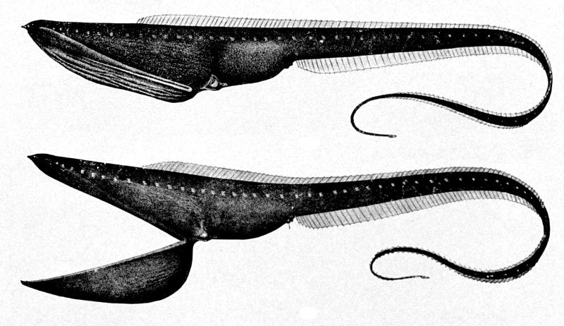 Pelican eel deep sea fish