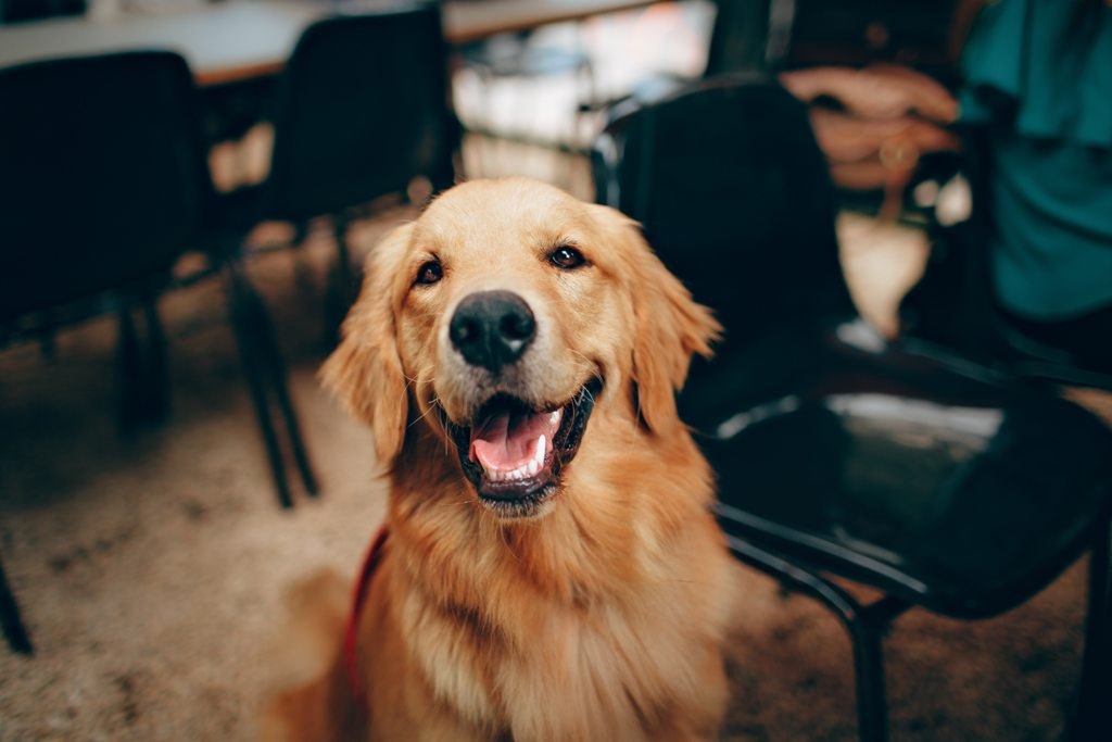 Golden retrievers just give out so much of love that it is impossible not to love them and throw in major cuddles.