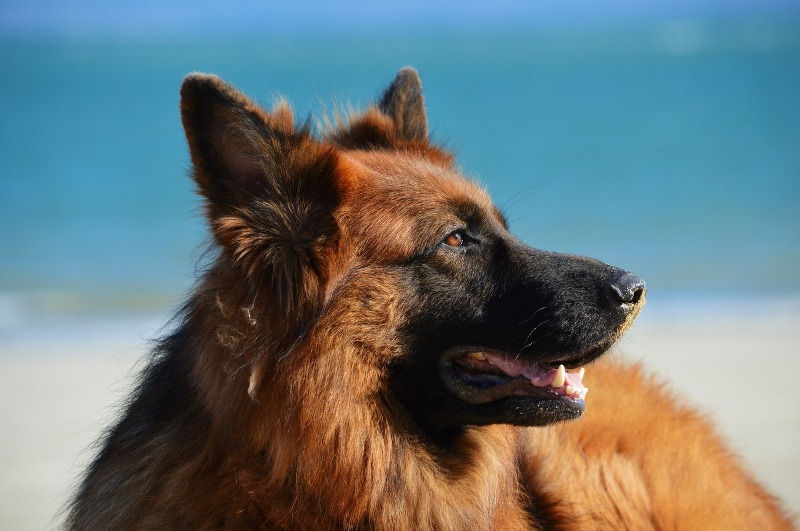 King German Shepherd - Know your dog avatar you would be according to your Zodiac sign