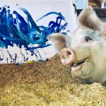 Meet Pigcasso: The Pig Who Was Rescued And Now Paints Art 1