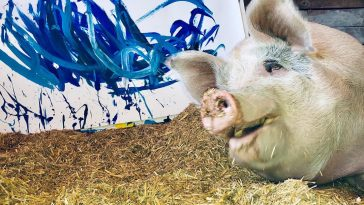 Pigcasso pig painter 1 364x205 - Meet Pigcasso: The Pig Who Was Rescued And Now Paints Art