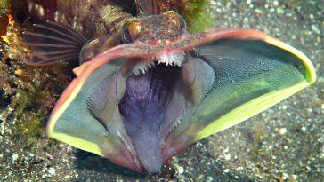 Sarcastic Fringehead deep sea creature