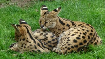 two servals witting in green grass