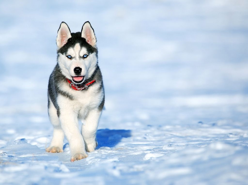 A Siberian husky is your answer.
