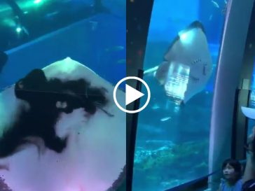 Stingray devours squid in aquarium as visitors watch in fear and anxiety