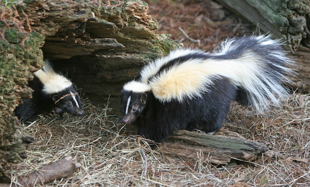 Striped Skunk - Here Are 5 Exotic Animals That You Can Have As Pets