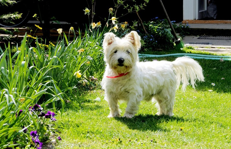 West Highland White Terrier dog - Know your dog avatar you would be according to your Zodiac sign