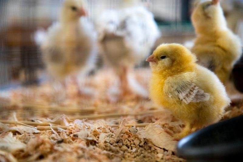 baby hen