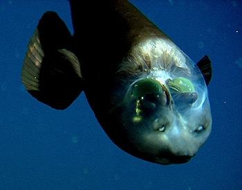 Barreleye deep sea fish