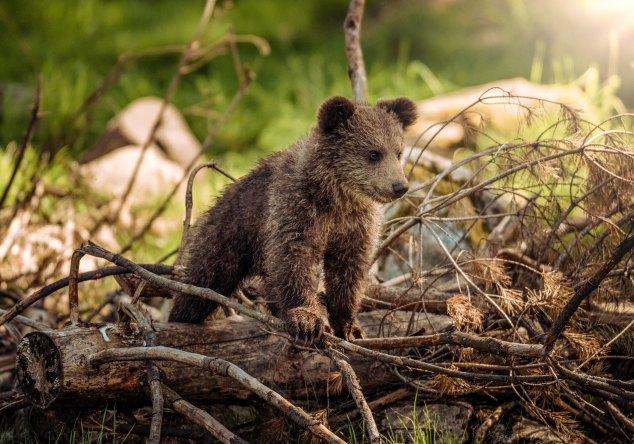 bear cub jungle