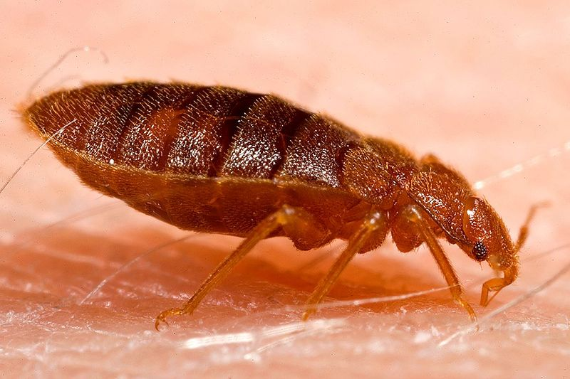 bed bugs - Shocking things you should know about bed bugs and see how to deal with it