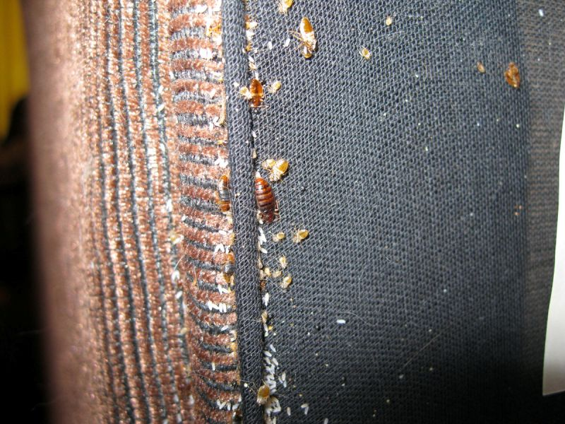 bed bugs hiding in the mattress
