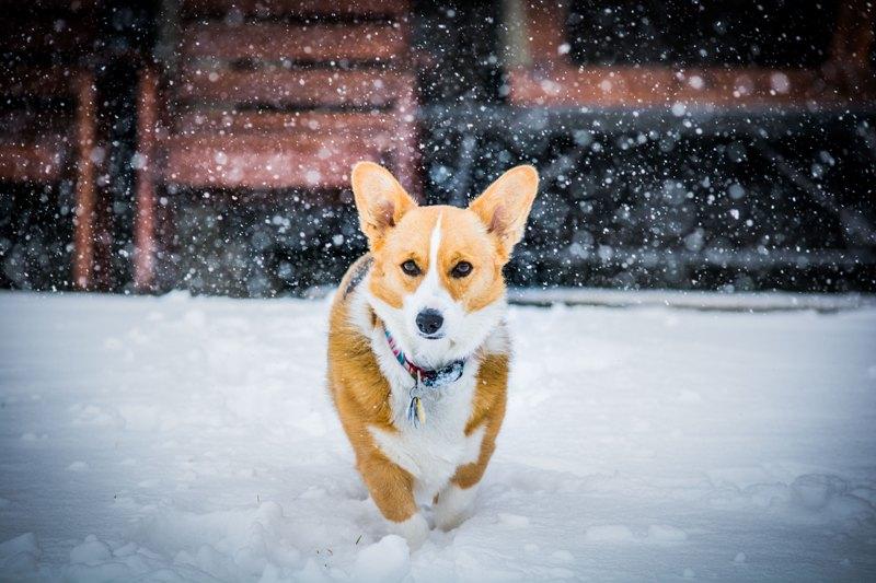 corgi dog winter