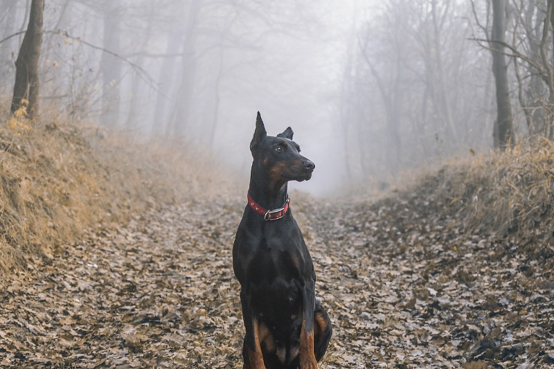 doberman jungle - Know your dog avatar you would be according to your Zodiac sign