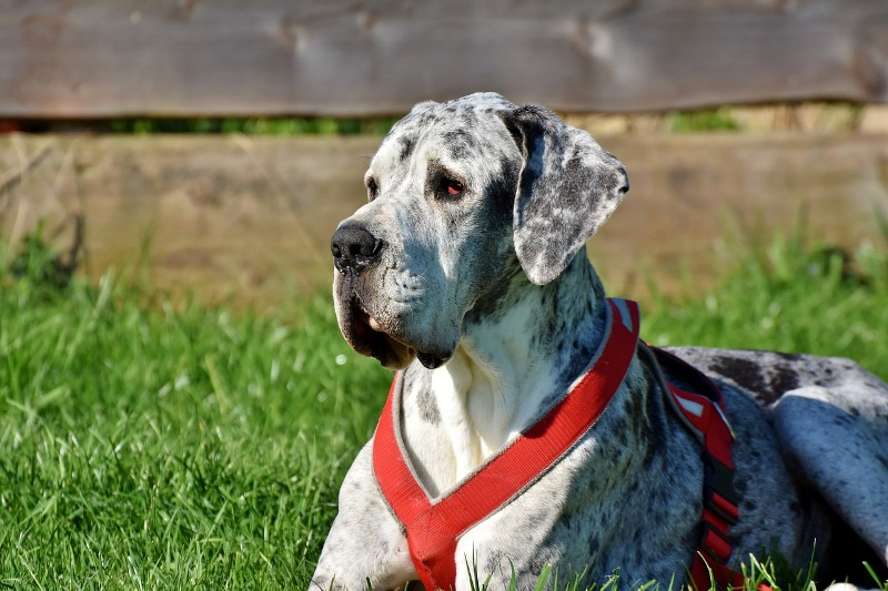 great dane 3387239 1280 - Know your dog avatar you would be according to your Zodiac sign