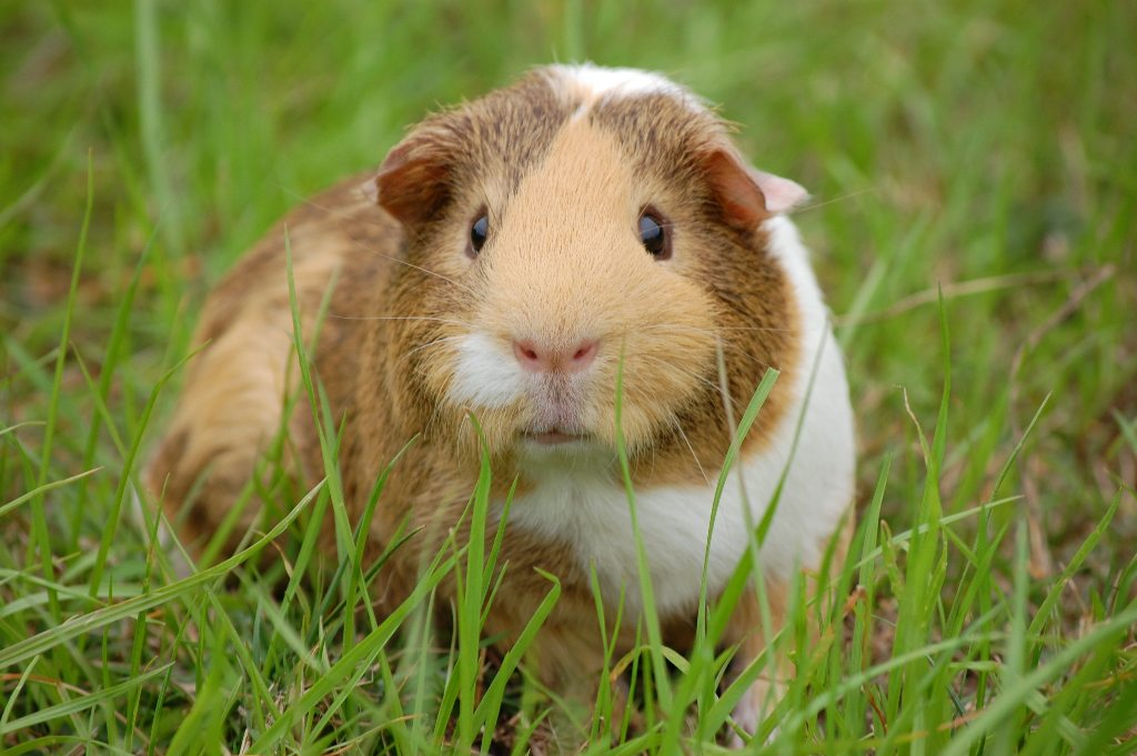 guinea pig - Here Are 7 Low Maintenance Pets For The Busy Working Class