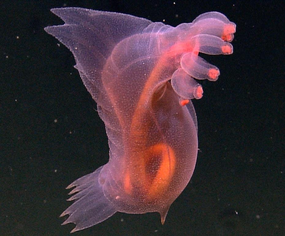 Pink Sea-Through Fantasia deep sea creature