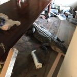 Hurricane Harvey in Houston brings 9 Foot Alligator to a home 2