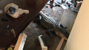 houston alligator brian home 364x205 - Hurricane Harvey in Houston brings 9 Foot Alligator to a home