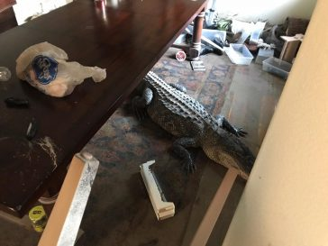houston alligator brian home 364x273 - Hurricane Harvey in Houston brings 9 Foot Alligator to a home