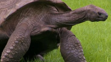 Jonathan Is A 187 Years Old Tortoise And The Oldest Animal Alive