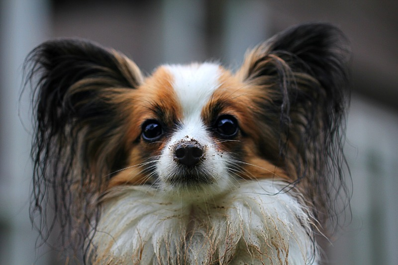 papillon dog avatar - 7 Gross Ways To Boost Your Immunity System