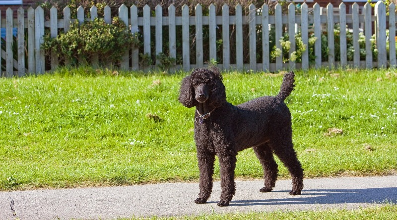 standard poodle 163963 1280 - Know your dog avatar you would be according to your Zodiac sign